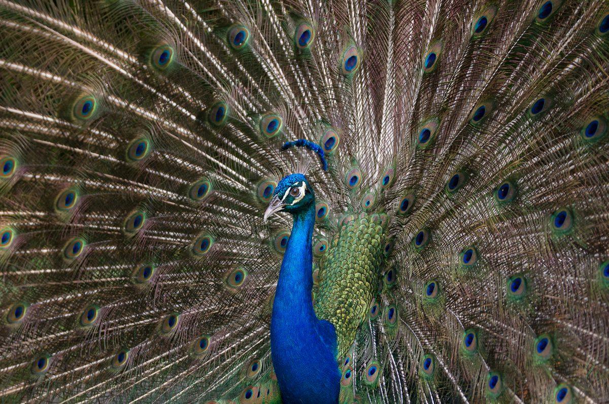 Pastel Peacock
